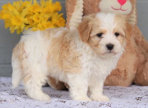 AKC Registered Havanese For Sale Baltic, OH Male- Arthur