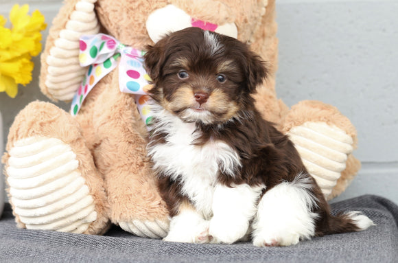 AKC Registered Havanese For Sale Baltic, OH Male- Chester