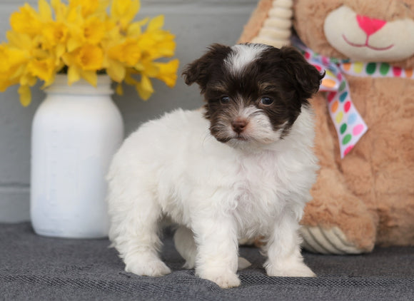 AKC Registered Havanese For Sale Baltic, OH Female- Isabelle
