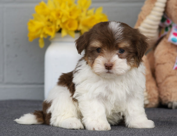 AKC Registered Havanese For Sale Baltic, OH Male- Marshall