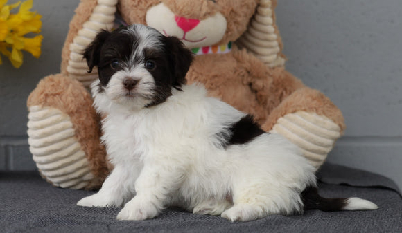 AKC Registered Havanese For Sale Baltic, OH Male- Sammy