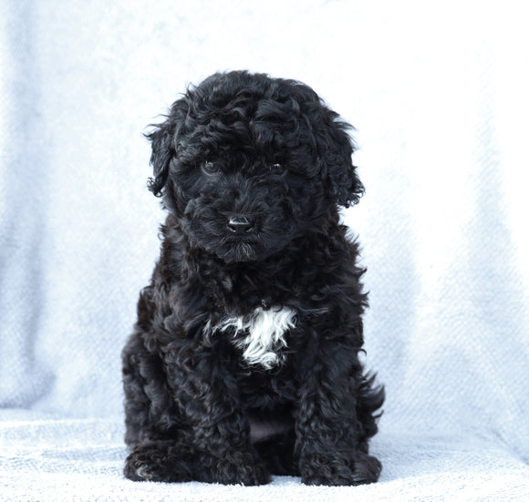 Mini Aussiedoodle For Sale Wooster, OH Female- Macey