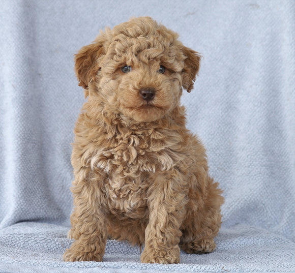 Mini Aussiedoodle For Sale Wooster, OH Male- Lincoln