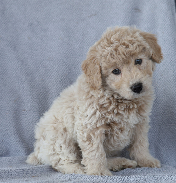 Mini Aussiedoodle For Sale Wooster, OH Male- Dusty