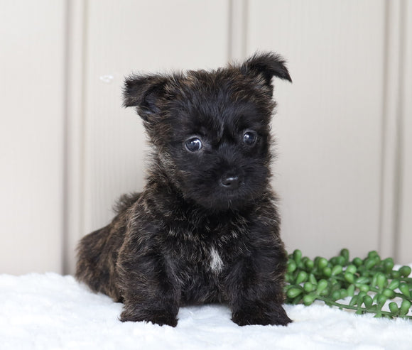 AKC Registered Cairn Terrier For Sale Millersburg, OH Female- Jade