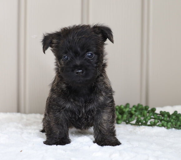 AKC Registered Cairn Terrier For Sale Millersburg, OH Female- Olivia