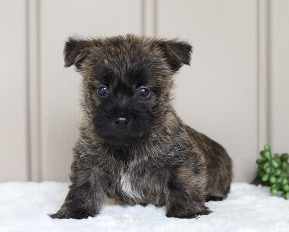 AKC Registered Cairn Terrier Millersburg, OH Male- Odie