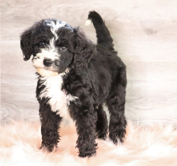Bernedoodle (Standard) For Sale Baltic, OH Male- Logan