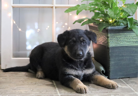 AKC Registered German Shepherd For Sale Millersburg, OH Female- Candi