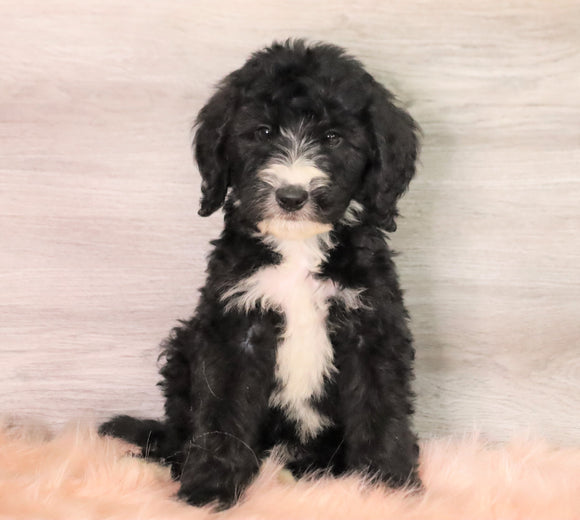 Bernedoodle (Standard) For Sale Baltic, OH Male- Smokey