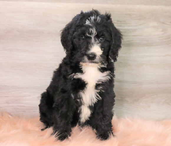Bernedoodle (Standard) For Sale Baltic, OH Male- Russel