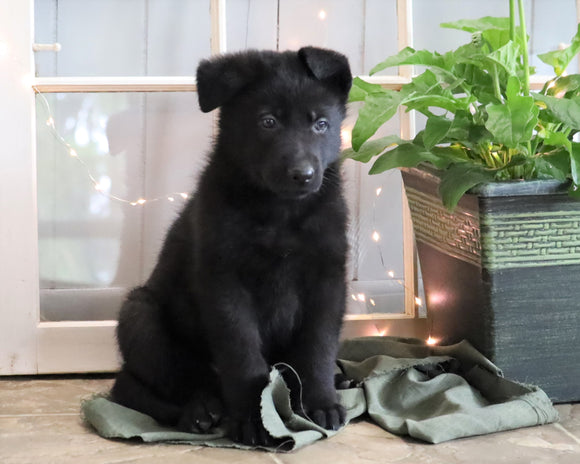 AKC Registered German Shepherd For Sale Millersburg, OH Male- Cory
