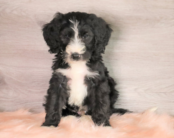 Bernedoodle (Standard) For Sale Baltic, OH Male- Jayce