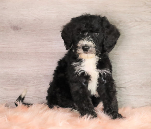 Bernedoodle (Standard) For Sale Baltic, OH Male- Baxter
