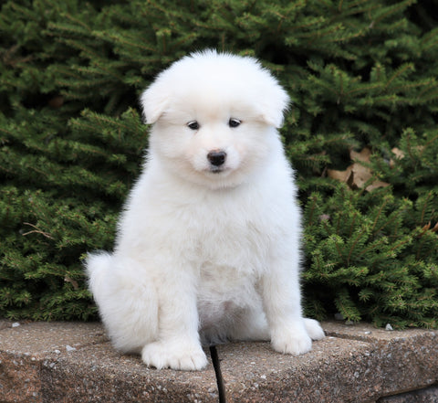 AKC Registered Samoyed For Sale Millersburg, OH Female- Sophie