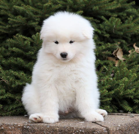 AKC Registered Samoyed For Sale Millersburg, OH Male- Archie