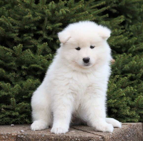 AKC Registered Samoyed For Sale Millersburg, OH Male- Bear