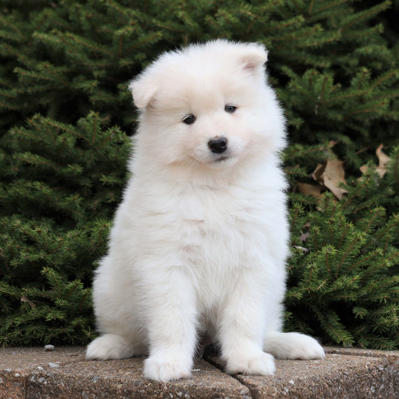 AKC Registered Samoyed For Sale Millersburg, OH Male- Yukon