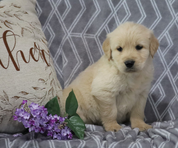 AKC Registered Golden Retriever For Sale Fredericksburg, OH Male- Kobe