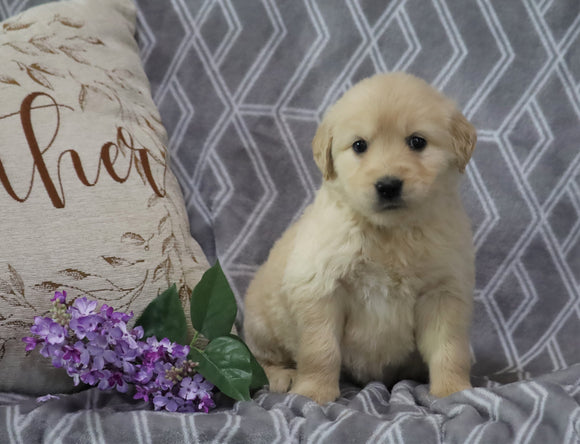 AKC Registered Golden Retriever For Sale Fredericksburg, OH Female- Shasta