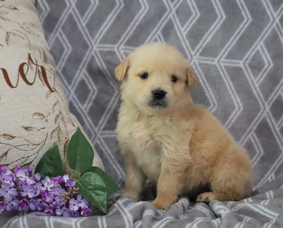 AKC Registered Golden Retriever For Sale Fredericksburg, OH Female- Abby