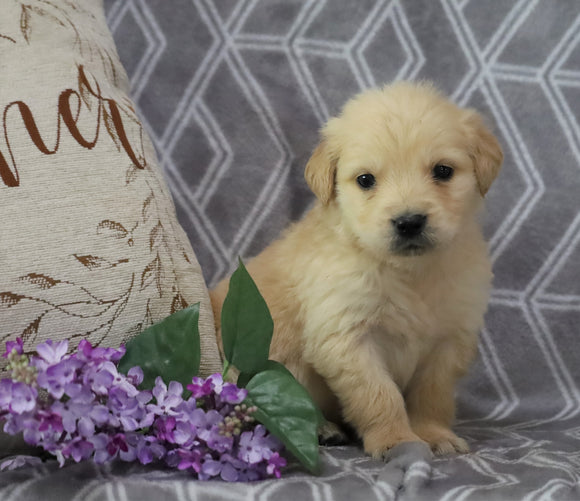 AKC Registered Golden Retriever For Sale Fredericksburg, OH Male- Oscar