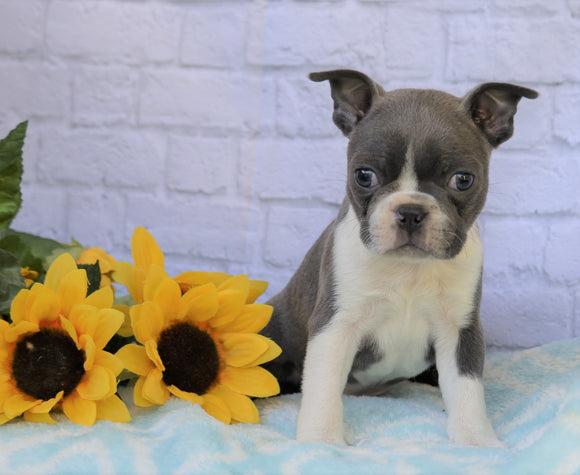 AKC Registered Boston Terrier For Sale Warsaw, OH Male- Dexter