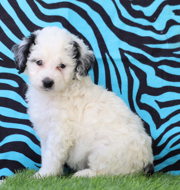 Mini Bernedoodle For Sale Sugarcreek, OH Female- Tinkerbell