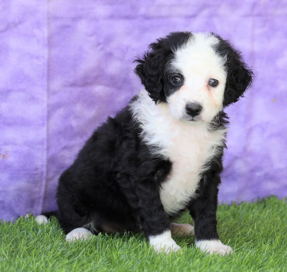Mini Bernedoodle For Sale Sugarcreek, OH Female- Dora