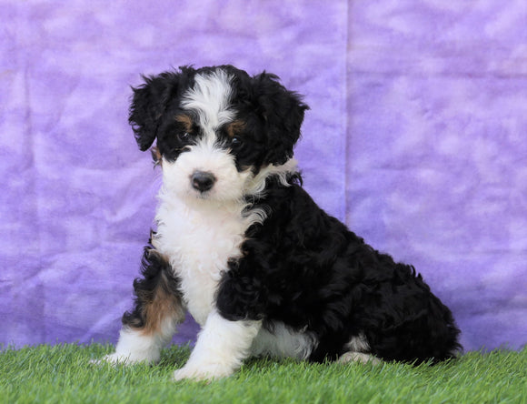 Mini Bernedoodle For Sale Sugarcreek, OH Female- Angela
