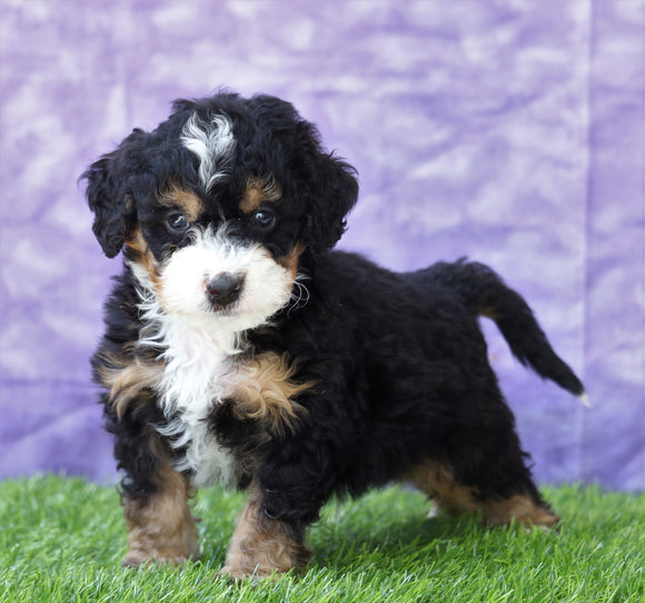 Mini Bernedoodle For Sale Sugarcreek, OH Male- Gizmo