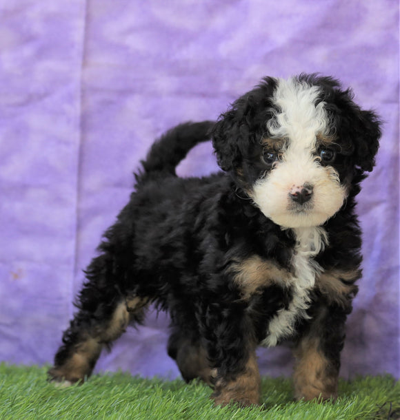 Mini Bernedoodle For Sale Sugarcreek, OH Male- Shadow