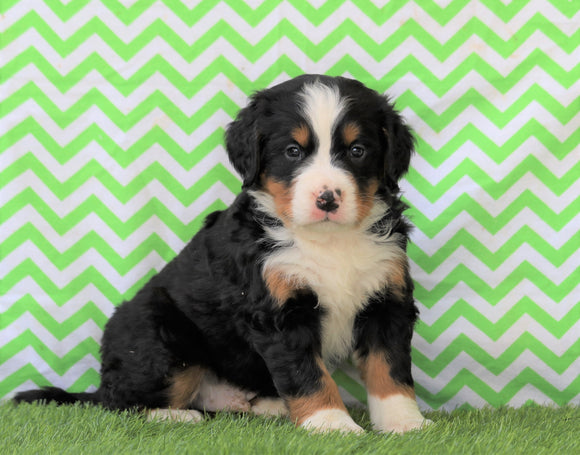 AKC Registered Bernese Mountain Dog For Sale Sugarcreek, OH Male- Winston