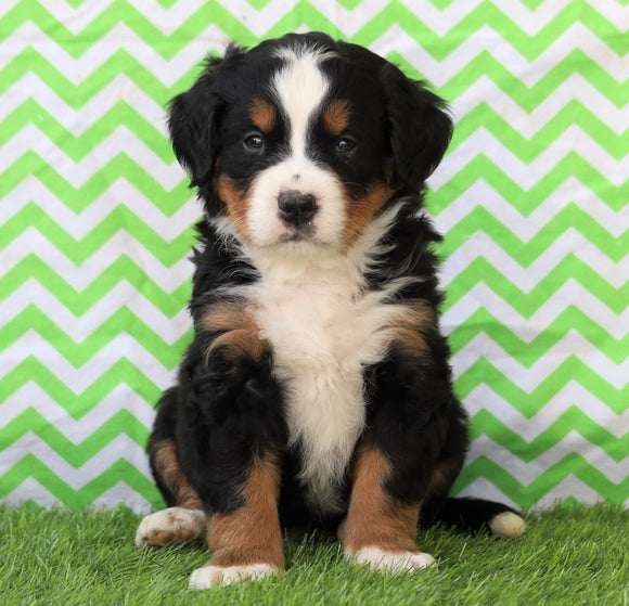 AKC Registered Bernese Mountain Dog For Sale Sugarcreek, OH Male- Ulysses