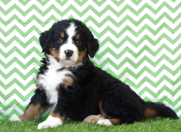 AKC Registered Bernese Mountain Dog For Sale Sugarcreek, OH Male- Hugo