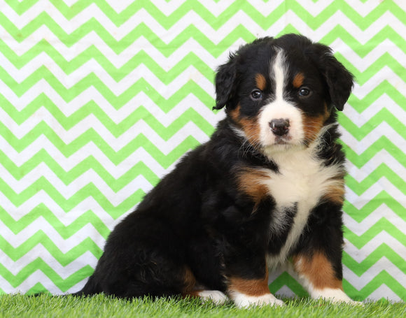 AKC Registered Bernese Mountain Dog For Sale Sugarcreek, OH Male- Eleanor
