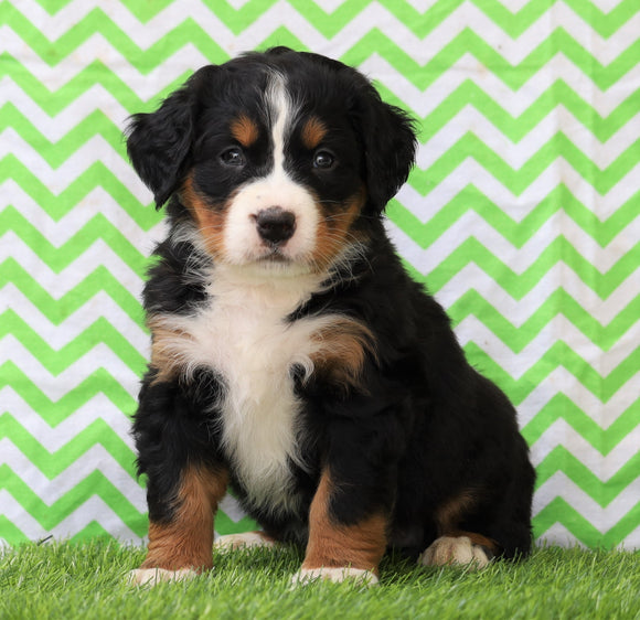 AKC Registered Bernese Mountain Dog for Sale Sugarcreek, OH Female- Lexi