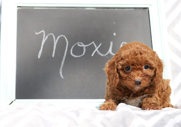 Cockapoo For Sale Millersburg, OH Female- Moxie