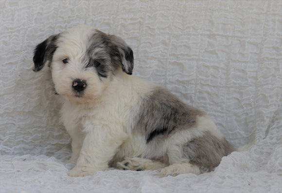 Mini Sheepadoodle For Sale Holmesville, OH Male- River