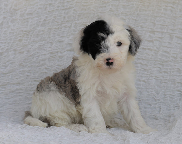 Mini Sheepadoodle For Sale Holmesville, OH Male- Venture