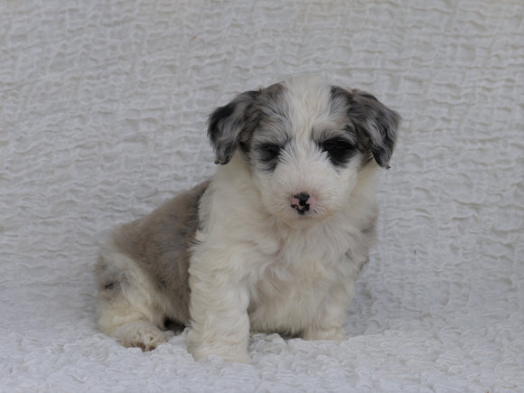 Mini Sheepadoodle For Sale Holmesville, OH Male- Milo