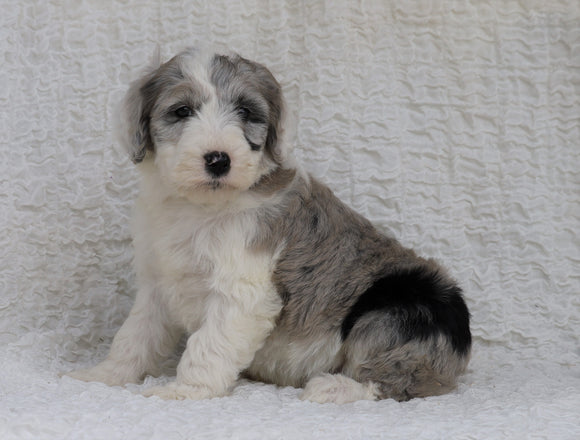 Mini Sheepadoodle For Sale Holmesville, OH Female- Willow