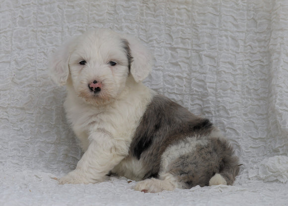 Mini Sheepadoodle For Sale Holmesville, OH Female- Hazel