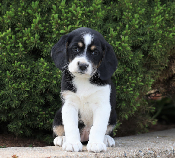 Beagle Mix For Sale Sugarcreek, OH Female- Angie