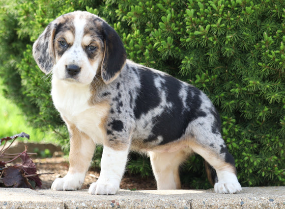 Australian Shepherd Mix For Sale Sugarcreek, OH Female- Summer