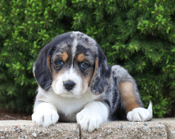 Australian Shepherd Mix For Sale Sugarcreek, OH Male- Wallace
