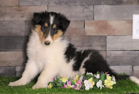 AKC Registered Collie For Sale Fredericksburg, OH Male- Tim