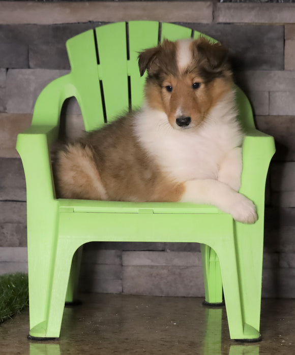 AKC Registered Collie For Sale Fredericksburg, OH Female- Molly