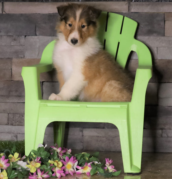AKC Registered Collie For Sale Fredericksburg, OH Female- Mitzy