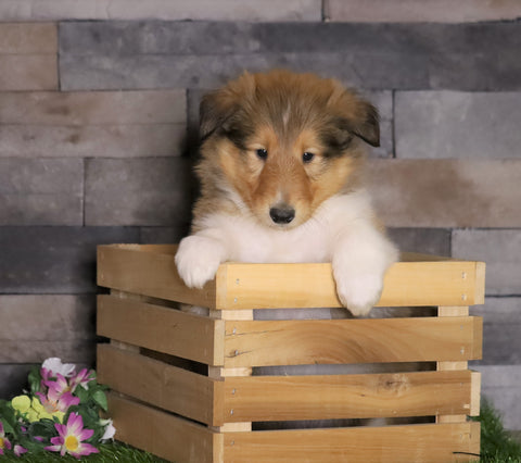 AKC Registered Collie For Sale Fredericksburg, OH Male- Mike
